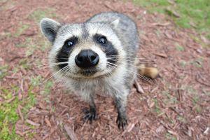 1024px-Curious_Raccoon