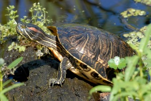 red-eared_slider_desk