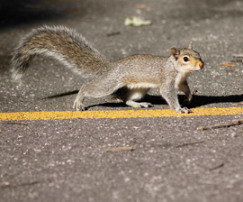 squirrel-in-road