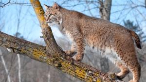 generic-bobcat
